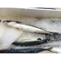 Mackerel (1 box)